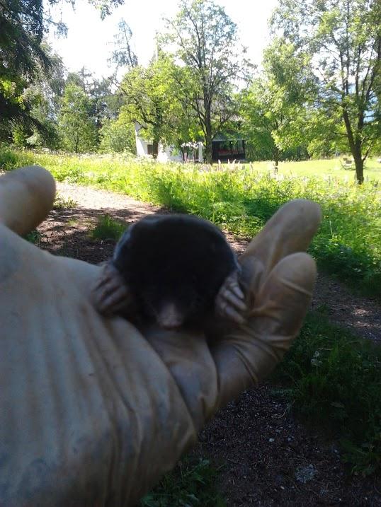 taupier d'antan contre les taupes et rats taupiers